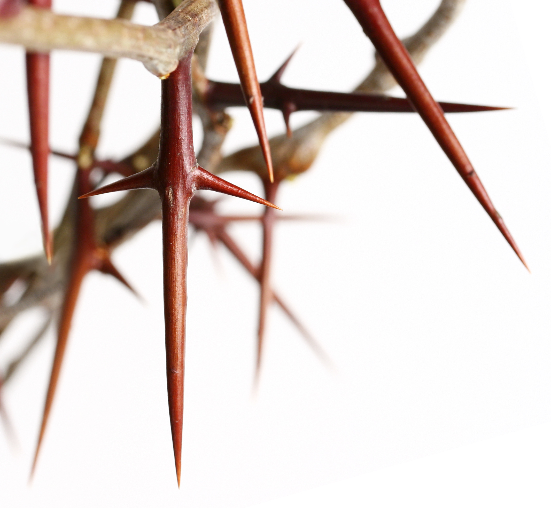 Crown Of Thorns Pictures